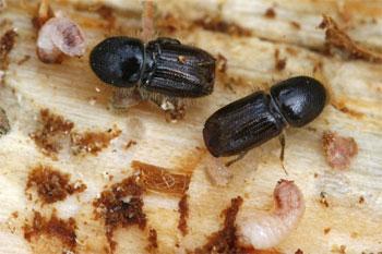 Mehlkäfer Bekämpfen binker materialschutz gmbh borkenkäfer bekämpfung