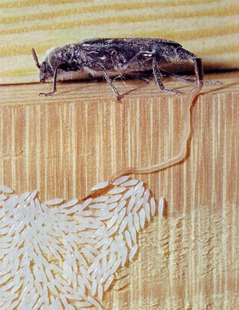 Binker Materialschutz Gmbh Hausbock
