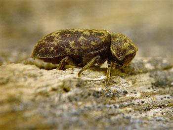 Schadinsekten sind vorratsschädlinge hygieneschädlinge textil und